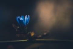 Kleine blaue Blume Stockfotografie