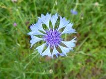 Kleine blaue Blume der extremen Nahaufnahme Lizenzfreies Stockbild