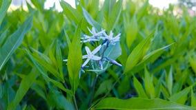 Kleine blaue Blumen in den grünen Blättern Stockbilder