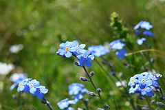 Kleine blaue Blumen, die in den Wind beeinflussen Lizenzfreie Stockfotografie