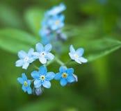 Kleine blaue Blumen groß, blaue Blumenblätter auf einem grünen Hintergrund, Vergissmeinnicht stockfotografie