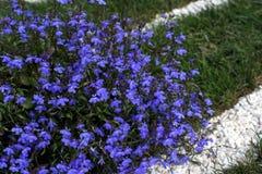 Kleine blaue Blumen - Lobelia Lizenzfreie Stockbilder
