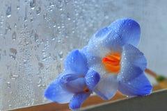 Kleine blaue Blumen nähern sich nassem Fenster Lizenzfreie Stockfotos