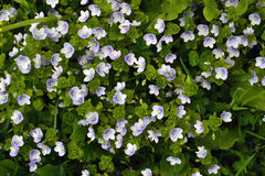 Kleine blaue Blumen unter dem Gras Stockbilder