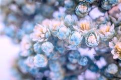 Kleine blaue Blumennahaufnahme auf einem weißen Hintergrund, Frühlingsblumen lizenzfreies stockbild