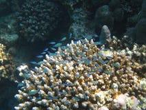 Kleine blaue Fische stockfoto