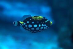 Kleine blaue Fische mit weißen Stellen in Ozean Lizenzfreie Stockbilder