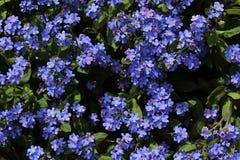 Kleine blaue Gartenblumen von Aubrieta-Klasse Lizenzfreie Stockfotografie