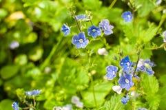 Kleine, blaue Katze ` s mustert Blume auf einer Wiese stockbild