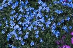 Kleine blauwe bloemen stock foto's