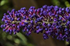 Kleine blauwe bloemen Stock Afbeelding