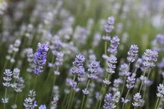 Kleine Blauwe Bloemen in een tuin Royalty-vrije Stock Foto's