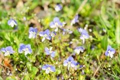 Kleine blauwe de lentebloemen op de zonovergoten weide Stock Foto's