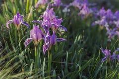 Kleine blauwe Iris royalty-vrije stock afbeeldingen