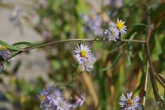 Kleine blauwe madeliefjes De Achtergrondafbeelding van het bloemdetail stock fotografie