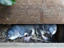 Kleine blauwe pinguïnen in hun het nestelen doos Royalty-vrije Stock Foto