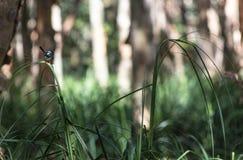 Kleine blauwe vogelzitting op een grasblad stock foto