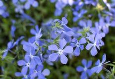 Kleine blauwe wilde bloemenachtergrond stock afbeeldingen