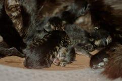 Kleine blinde neugeborene Kätzchen, die in einer Pappschachtel schlafen Stockfoto