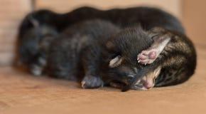 Kleine blinde neugeborene Kätzchen, die in einer Pappschachtel schlafen Lizenzfreies Stockfoto