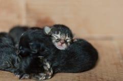 Kleine blinde neugeborene Kätzchen, die in einer Pappschachtel schlafen Lizenzfreie Stockbilder