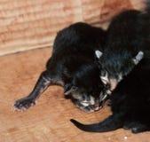 Kleine blinde neugeborene Kätzchen, die in einer Pappschachtel schlafen Lizenzfreie Stockfotografie