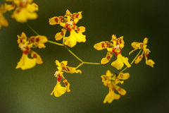 Kleine bloei van gele orchidee in een park, Colombia Royalty-vrije Stock Foto's