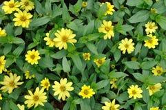 Kleine bloem van feverfew Stock Foto