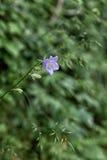 Kleine bloemen Italië Stock Foto's