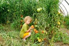 Kleine blonde Jungensammelntomaten im Garten Stockbild