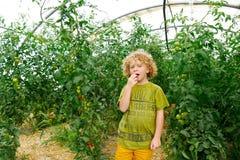 Kleine blonde Jungensammelntomaten im Garten Stockfotografie