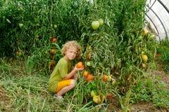 Kleine blonde Jungensammelntomaten im Garten Stockbilder