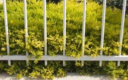Kleine Blätter des goldenen diosma mit rosa Blumen verzieren einen Weißmetallzaun Lizenzfreie Stockfotos