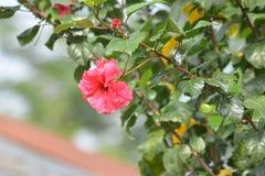 Kleine Blume in der magentaroten Farbe mit grünen Blättern Stockfotos
