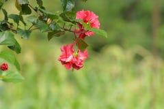 Kleine Blume in der magentaroten Farbe mit grünen Blättern Stockfotografie
