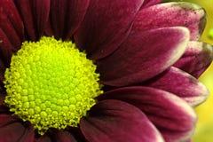 Kleine Blume in der Makrophotographie Stockbilder