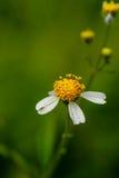 Kleine Blume in der Makrophotographie Stockbild