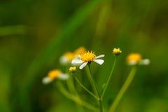 Kleine Blume in der Makrophotographie Stockfoto
