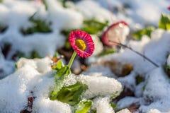 Kleine Blume in einem Garten mit Eis Stockbilder