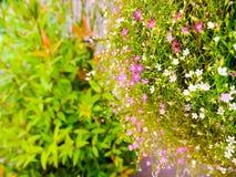 kleine Blumen des Gypsophila Stockfotos