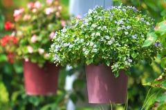 Kleine Blumen in hängenden Töpfen Stockfotografie