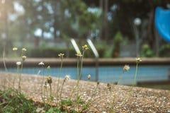 Kleine Blumen um das Pool mit Sonnenlicht, getontes Bild Stockfoto
