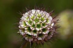 Kleine Blumenknospe mit den Grünen und Weißsticheln Lizenzfreie Stockfotografie