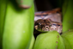 Kleine Boa constrictor Stockfotografie
