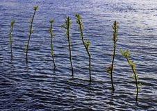 Kleine bomen in blauw water Stock Foto