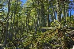 Kleine bomenaraucrias Royalty-vrije Stock Foto