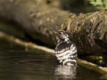 Kleine Bonte Specht, Lesser Spotted Woodpecker, Dendrocopus-mino royalty-vrije stock fotografie