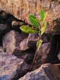 Kleine boom en ruwe bruine steentextuur Stock Afbeelding