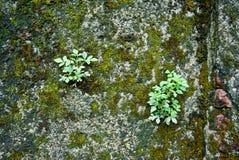 Kleine boom op de mosmuur Royalty-vrije Stock Afbeelding