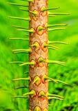 Kleine boomstam van Tiered pijnboom Stock Foto